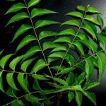 neem leaves for body odour